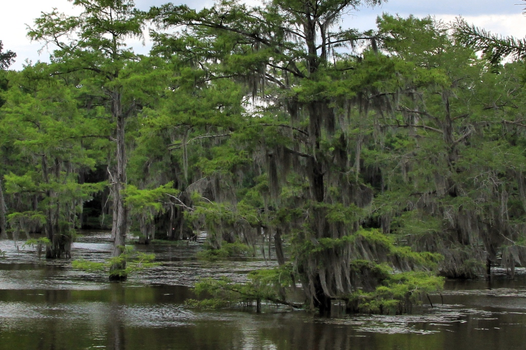 Cypress trees in Caddo lake